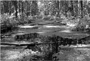 Leśne błoto. Foto A. Dubrouski