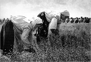Zbiórka lnu – praca kobiet (fot. J. Szymańczyk, ok międzywojenny, ze zb. J. Szymańczyka)
