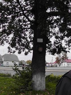 Drzewko wolności, posadzone w centrum Dawidgródka