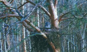 Puszczyk mszarny na gnieździe (fot. A. Abramćuk)