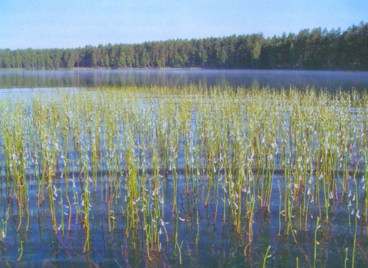 Jezioro Białe, lobelia Dortmana
