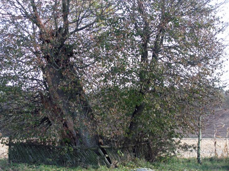 Zaosie. Stare drzewa obok siedziby Mickiewiczów