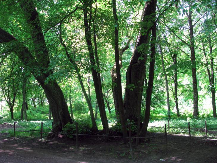 Tuhanowicze. Drzewa w centralnej części parku. Miejsce, gdzie Adam     pierwszy raz zobaczył swoja ukochana Marylę
