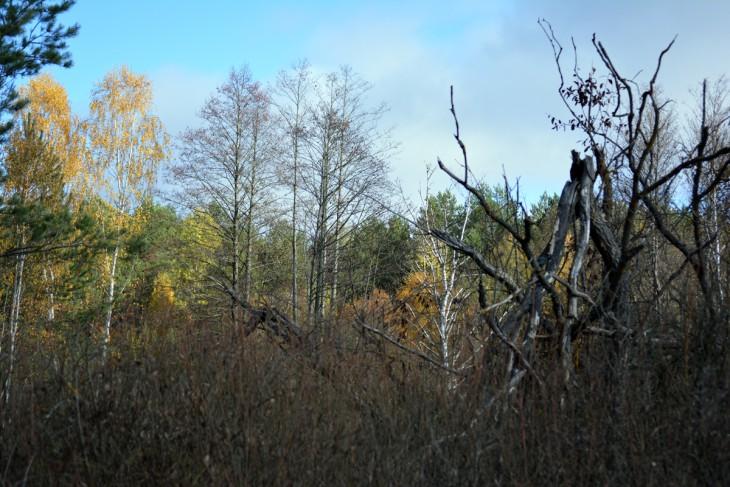Las walczy z wodą: błoto zarasta krzakami, lecz uschnięte brzoza i olcha świadczą że walka ta nie jest łatwa