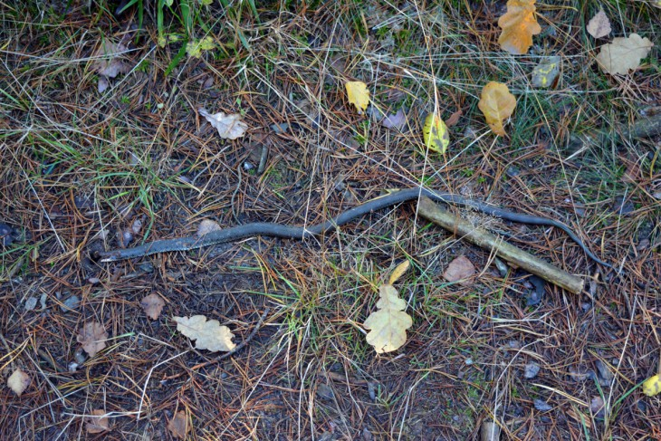 Dramat na leśnej ścieżce: olbrzymi wąż z odrąbaną głową i narzędzie zbrodni - złamany trzonek siekiery
