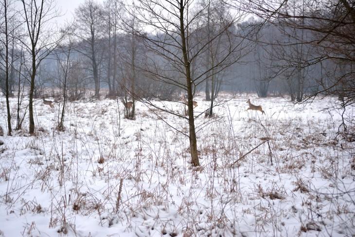 Dzikie grację są bezpieczne, ponieważ trwa już okres ochronny