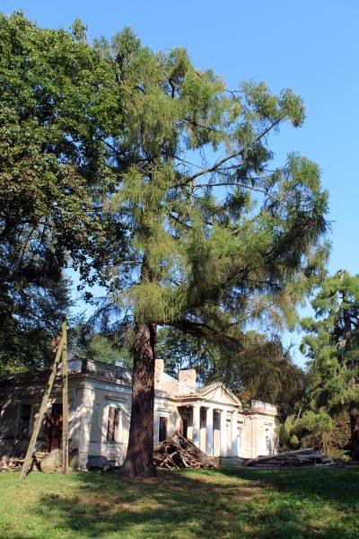 A przed frontonem dworu – dwa stuletnie modrzewie